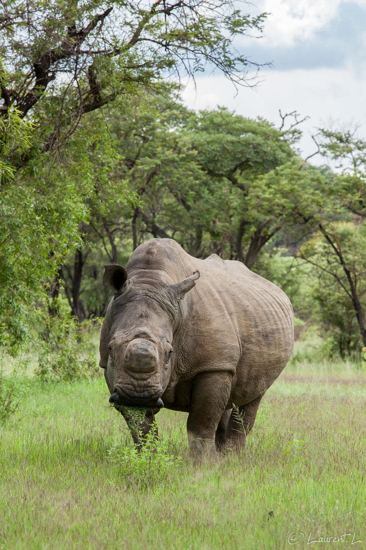 "L'imposant rhinocéros blanc (Matobo National Park)     1/125 s à f/11 - 400 ISO - 200 mm     27/12/2010 - 16:16     20°33'59"" S 28°26'44"" E     12454 m"
