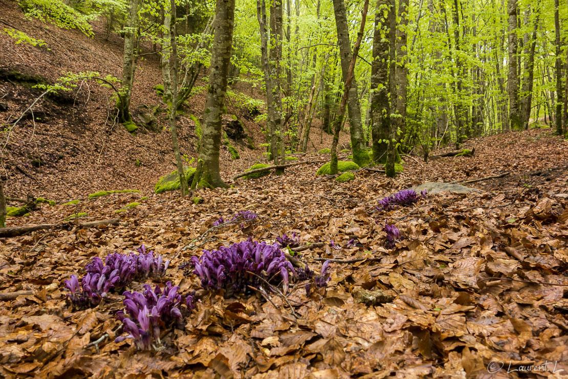 Etape 23 : Mècle ↔ Murat-sur-Vèbre (26,9 kms)  |  01/05/2015 - 14:28  |  En ce jour du 1er mai, je change de région géographique : je quitte le bassin méditerranéen pour le bassin atlantique. Certes, l'océan est encore bien loin, mais la géographie, les paysages, les aménagements ruraux et forêts sont bien différents dès que je franchis la montagne de l'Espinousse au coeur du Parc Naturel Régional du Haut Languedoc. Sur le versant tarnais, les forêts aux essences méditerranéennes cèdent la place aux prairies d'élevage bovin. Pour me convaincre du changement, le ciel se couvre et le temps devient plus humide avec un crachin à l'approche de Murat-sur-Vèbre.