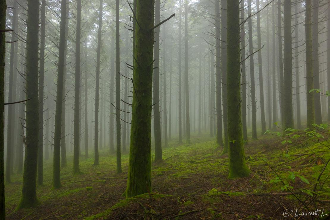 """Etape 18 : Chignat ↔ Banize (21,9 kms)     16/05/2018 - 09:10     45°56'56"""" N 1°49'19"""" E     642 m     Le lendemain matin, comme la veille, je démarre ma journée dans un épais brouillard. Je traverse une forêt de pins Douglas comme on en trouve beaucoup là-bas. Ces plantations soutiennent une sylviculture tantôt active, tantôt à l'abandon selon les propriétaires. L'ambiance fantômatique du lieu ne manque pas de charme et reste impressionnante. Dans cette forêt le silence est assourdissant."""